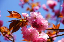 青空と八重桜の無料写真素材