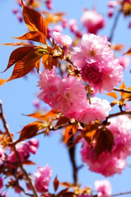 満開の八重桜の無料写真素材
