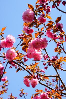 青空と満開の八重桜の無料写真素材