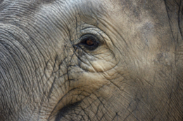 象の優しい目の写真のフリー素材