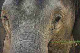 草を食べるゾウの写真のフリー素材