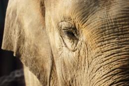 象の顔のアップの写真のフリー素材