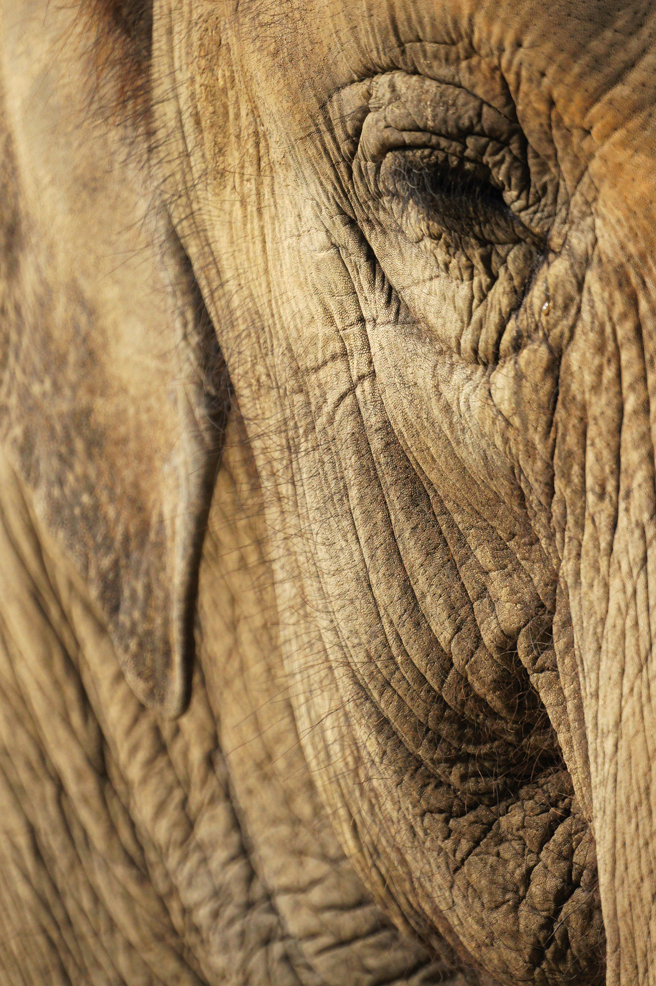 ゾウの顔の写真のフリー素材