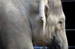 象の横顔の写真のフリー素材