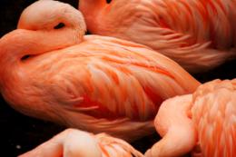 フラミンゴの写真のフリー素材