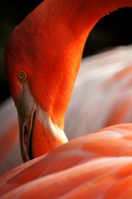 フラミンゴの顔のアップ