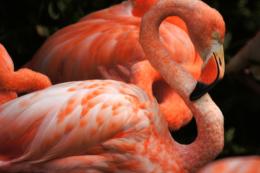 綺麗な色のフラミンゴの写真のフリー素材