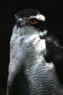 大鷹の写真のフリー素材