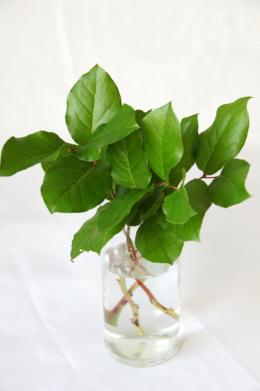 観葉植物のレモンリーフの無料写真素材