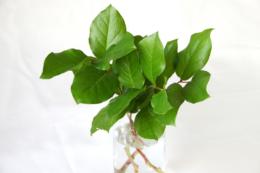 レモンリーフの葉っぱの無料写真素材