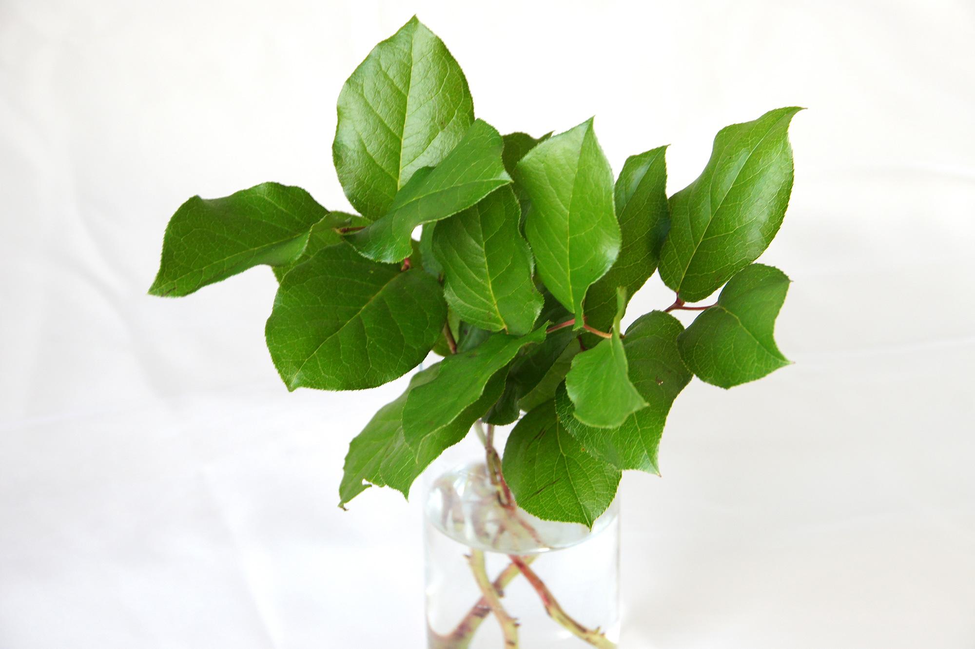 レモンリーフの葉っぱ