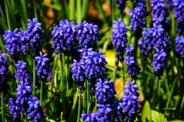 花壇に咲くたくさんのムスカリの無料写真素材