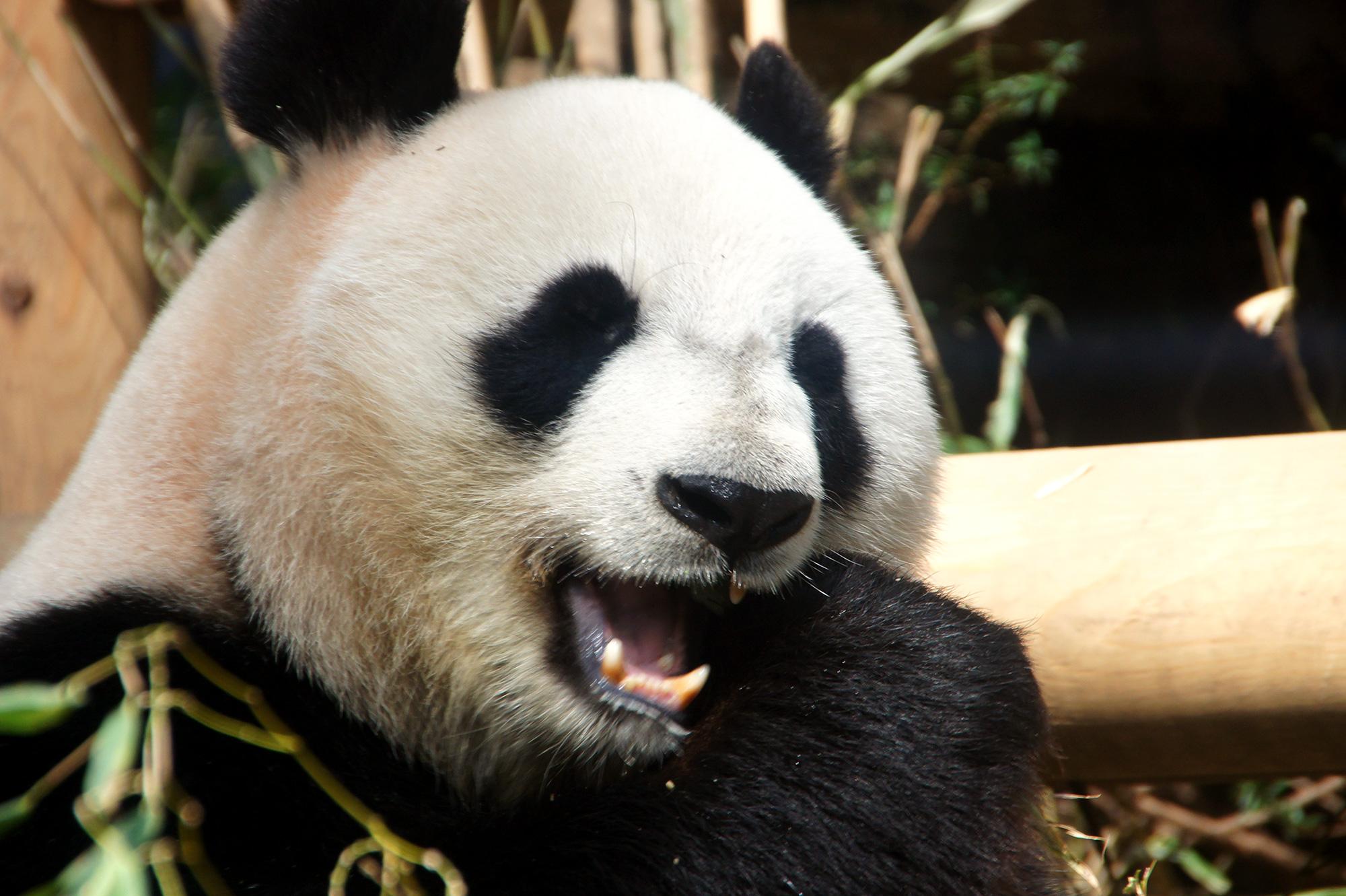 ジャイアントパンダの写真素材(フリー)