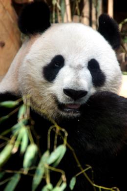 正面から見たパンダの写真素材(フリー)