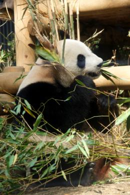 食事中のジャイアントパンダの写真素材(フリー)