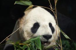 ジャイアントパンダの顔のアップの写真素材(フリー)
