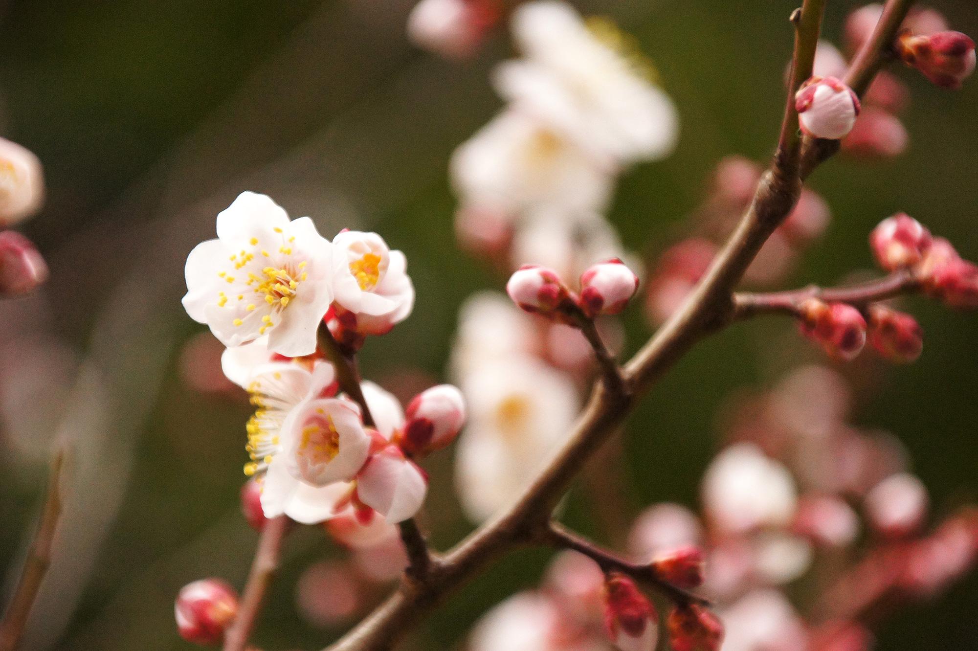 梅の木のフリー画像素材