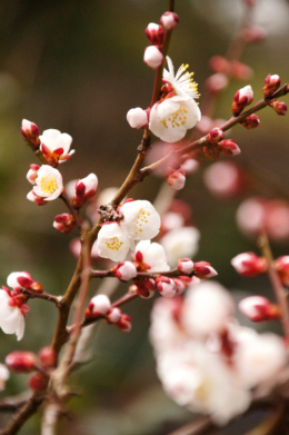 梅のフリー画像素材
