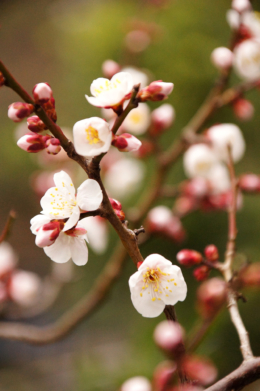 梅の花のフリー画像素材