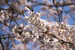 桜のフリー画像素材