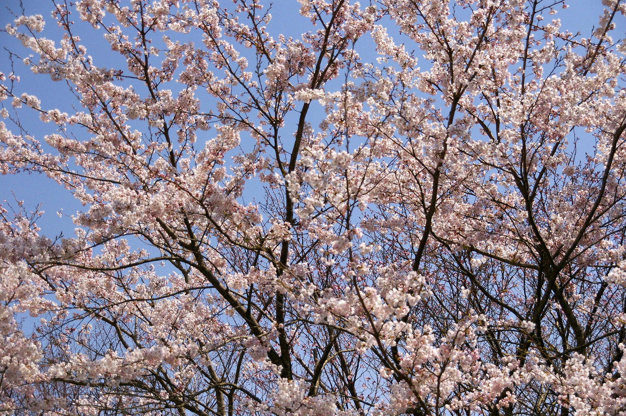 満開の桜のフリー画像素材