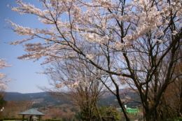 公園の桜のフリー画像素材