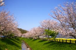 桜並木と水路のフリー画像素材