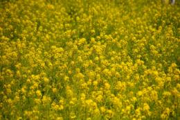 菜の花のフリー画像素材