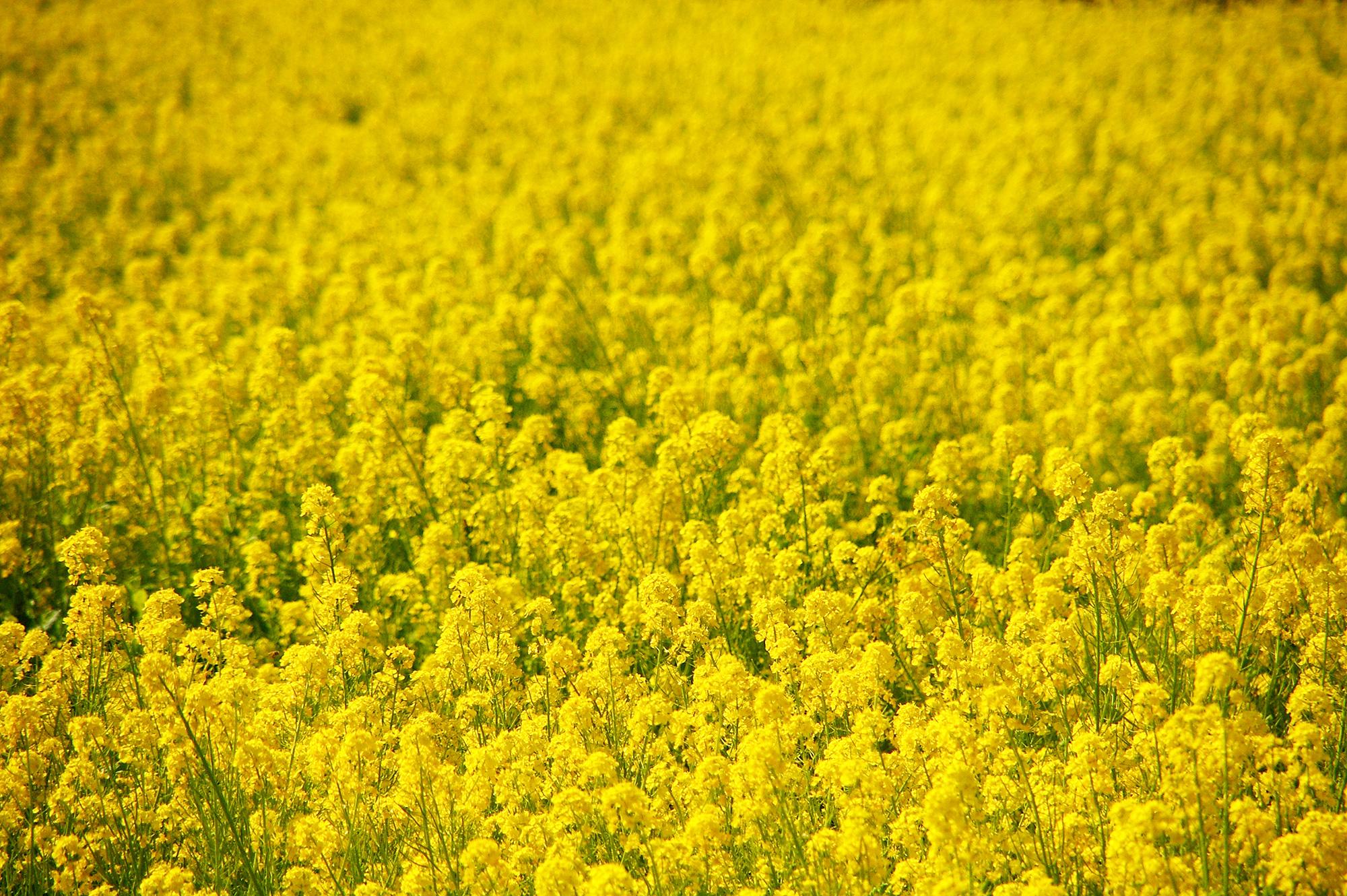 一面の菜の花のフリー画像素材