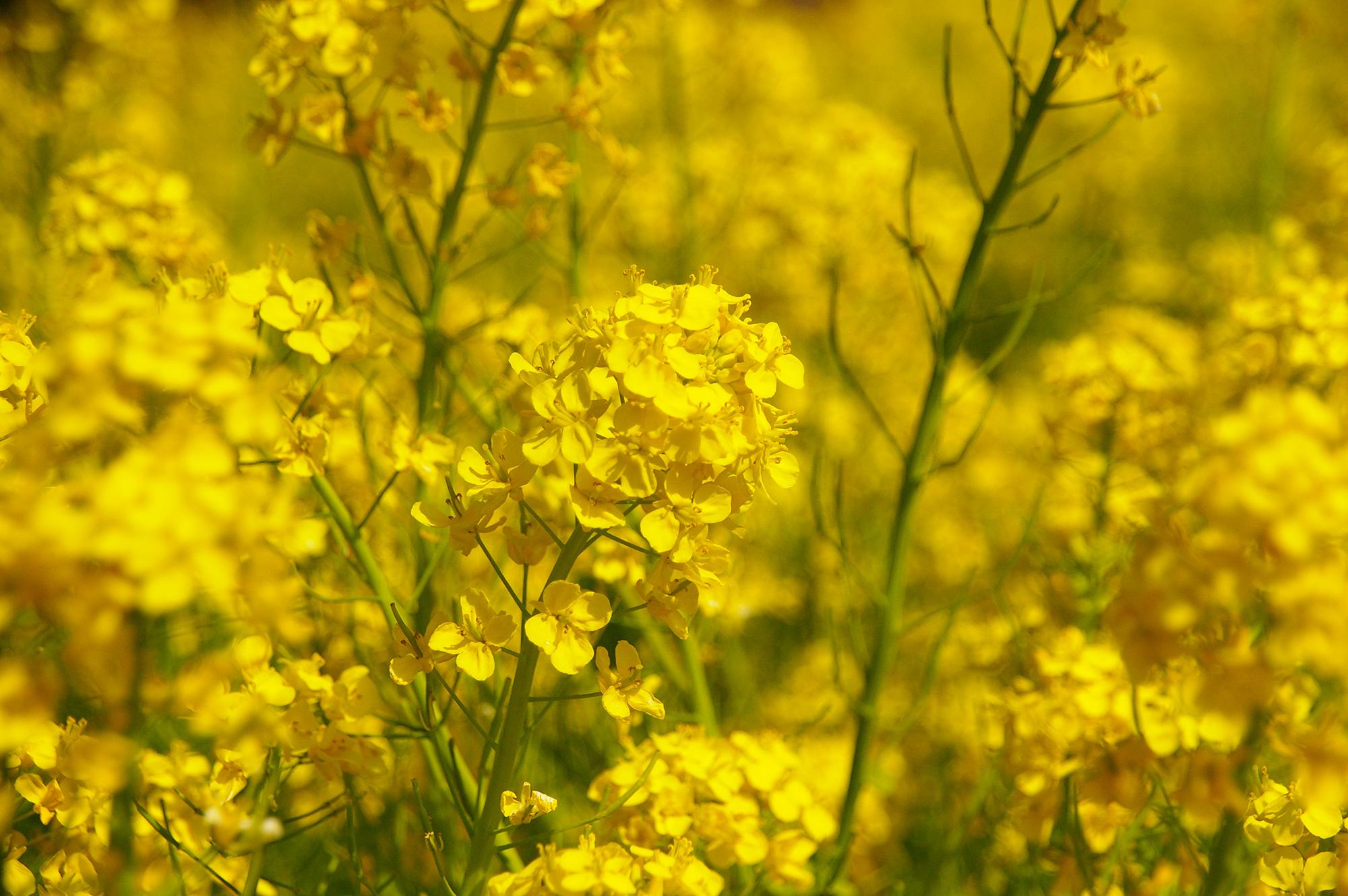菜の花のアップ