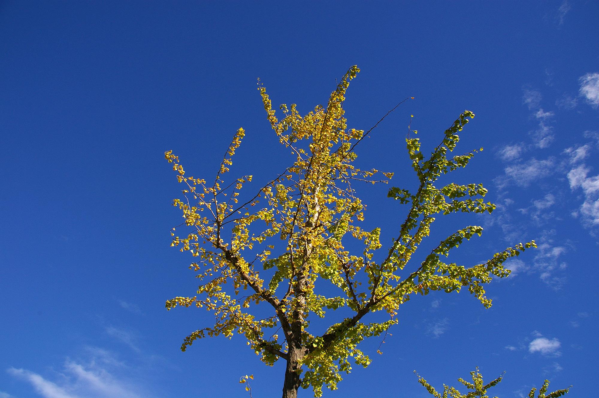 紅葉した街路樹の写真の無料素材