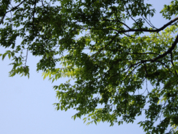 新緑の木の写真のフリー素材