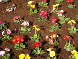 ガーベラの花壇の写真のフリー素材
