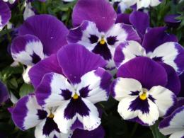 紫のパンジーの写真のフリー素材