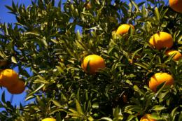 橙の実の写真素材(無料)