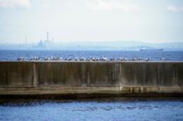 防波堤の上のカモメ