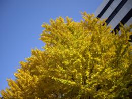 黄色いイチョウとビルの写真素材(無料)