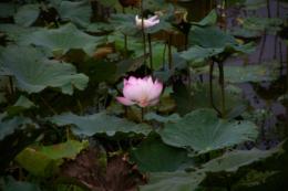 蓮の花の写真素材(無料)