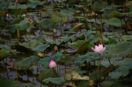 蓮が咲く池の写真素材(無料)