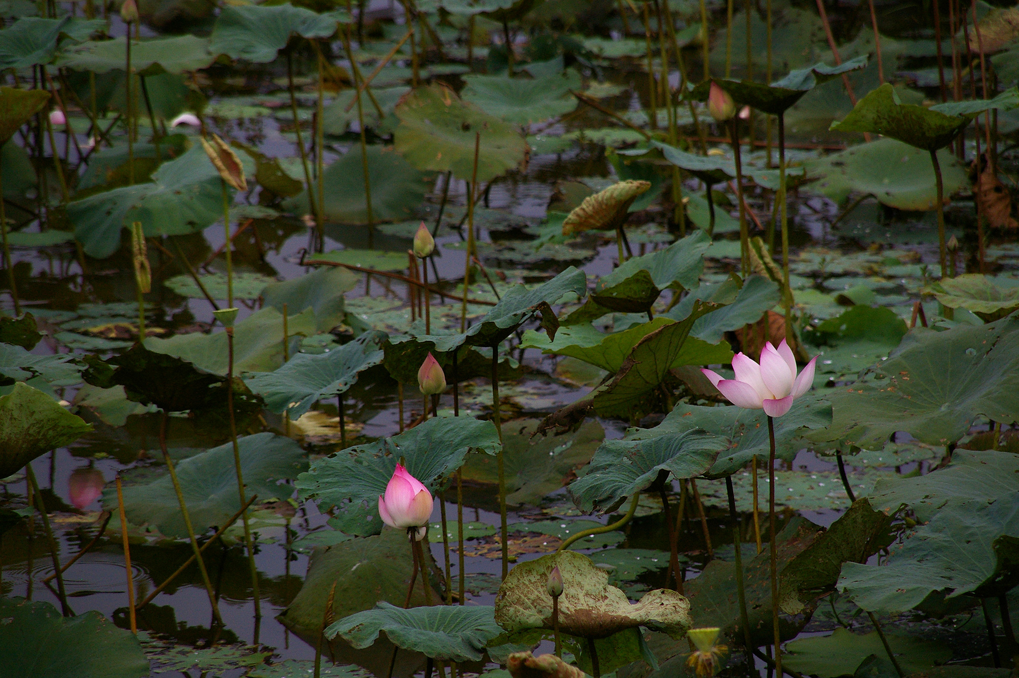 蓮が咲く池