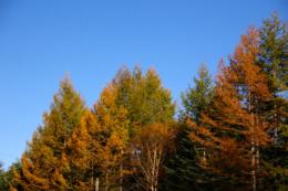 尖がった木の紅葉