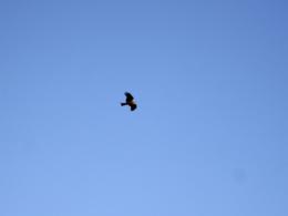 青空とトンビのフリー写真素材