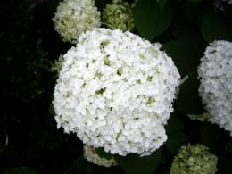 白い紫陽花の写真の無料素材