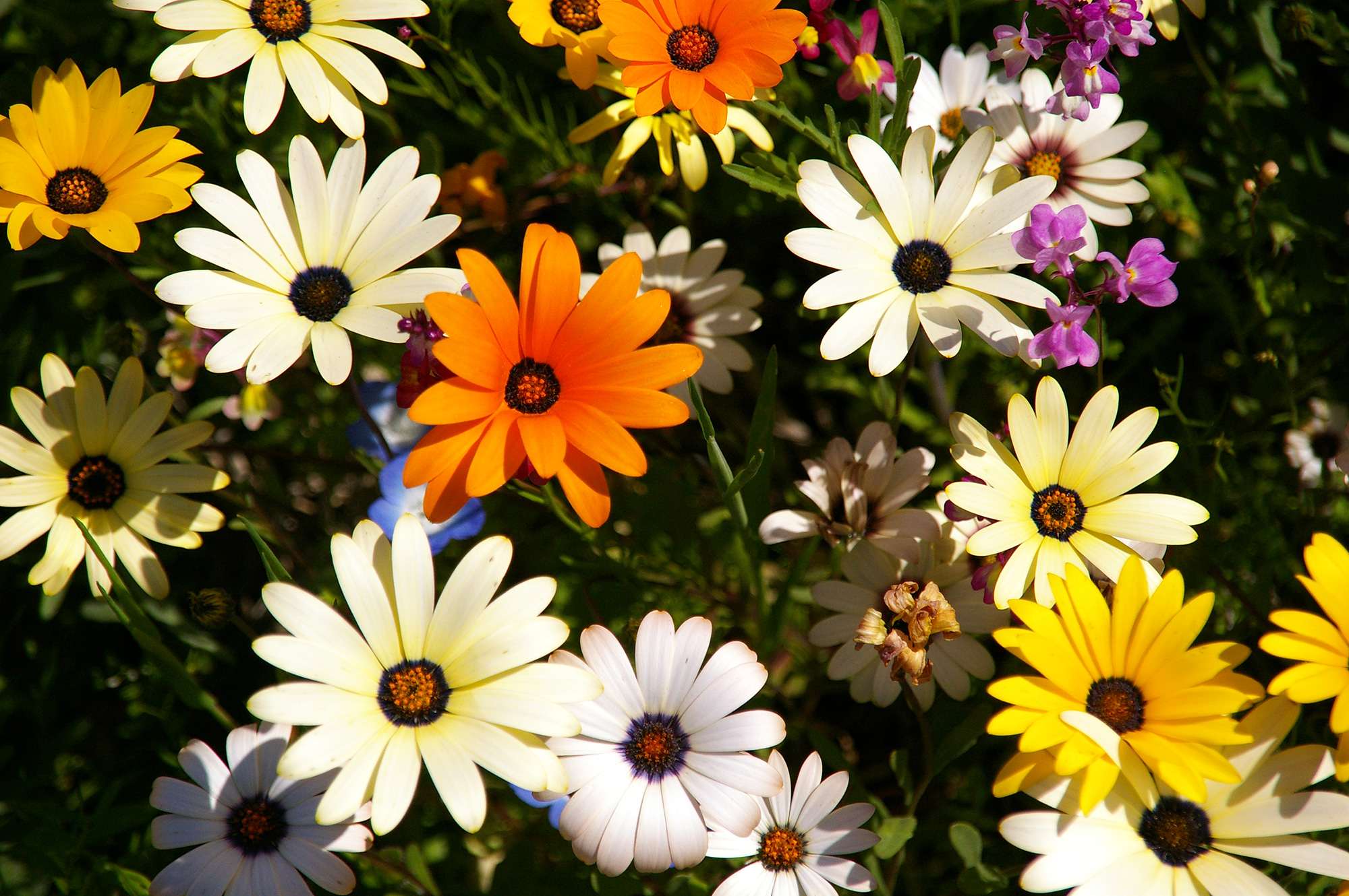 お花畑のカラフルな花の写真の無料素材