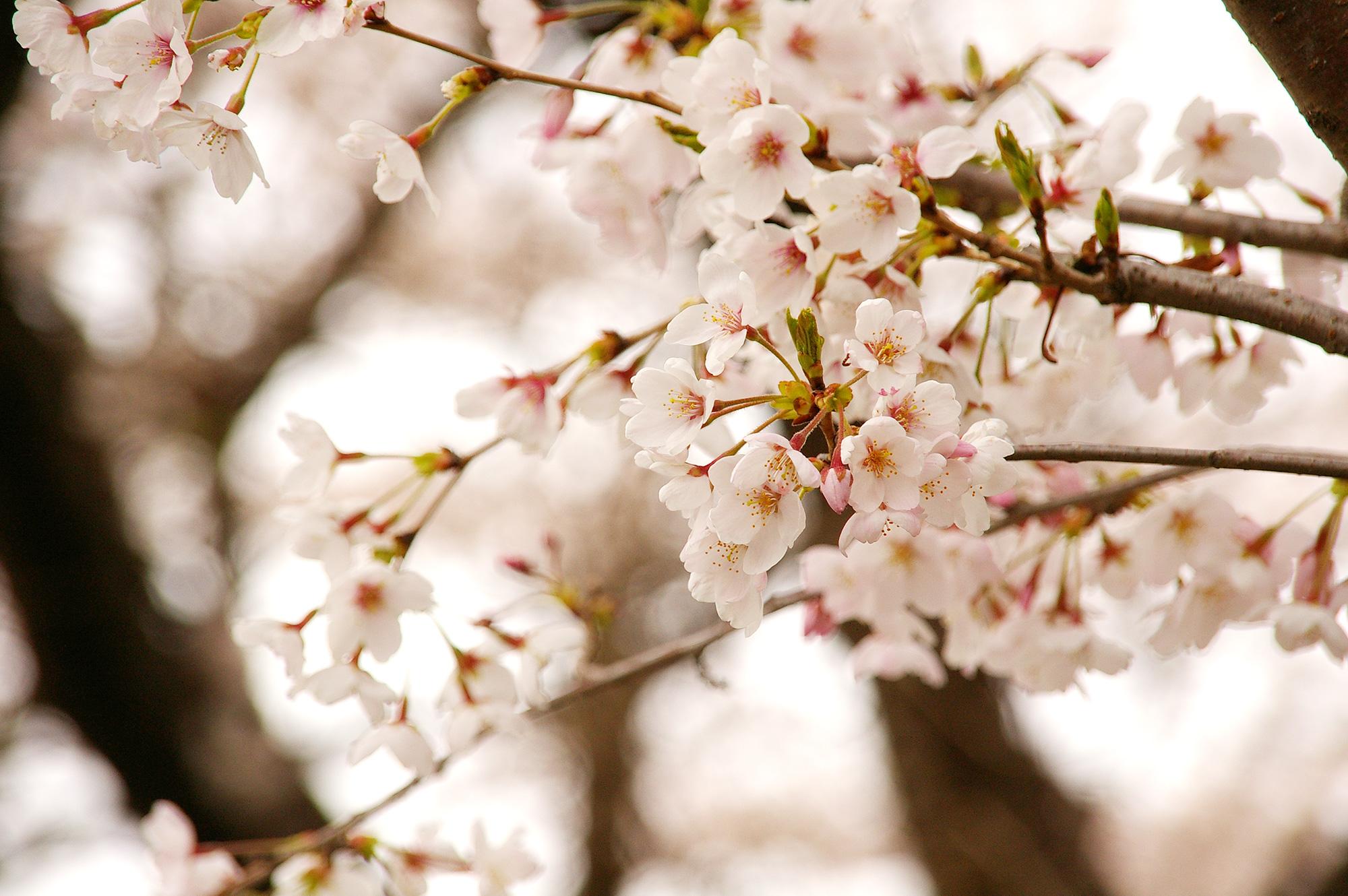 桜満開の写真のフリー素材