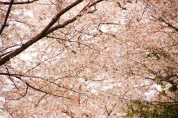 無数の桜の花