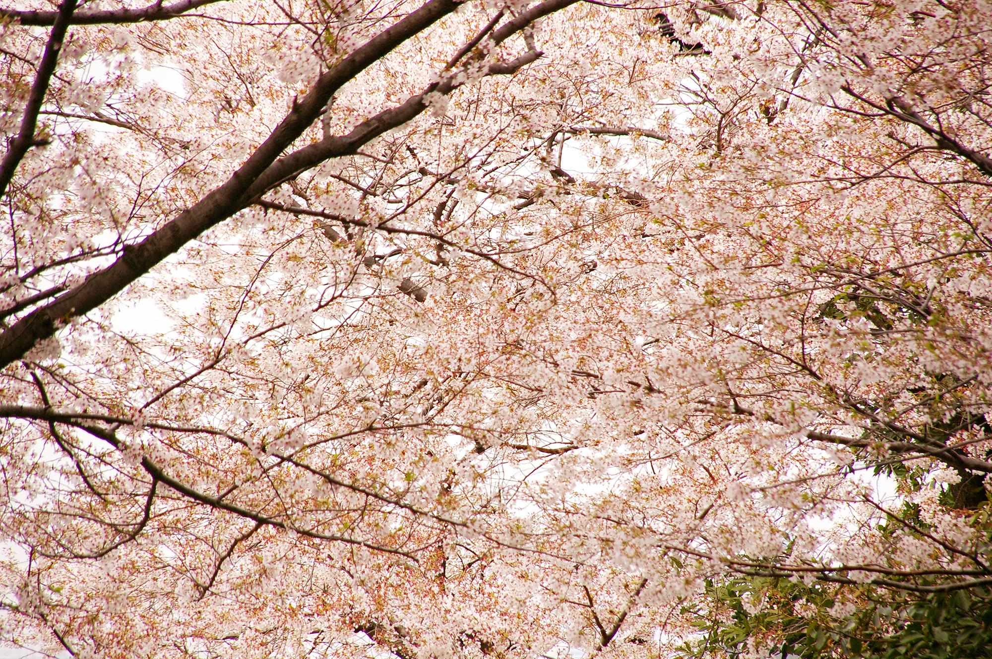 無数の桜の花の写真のフリー素材