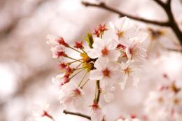 かわいいサクラの花の写真のフリー素材