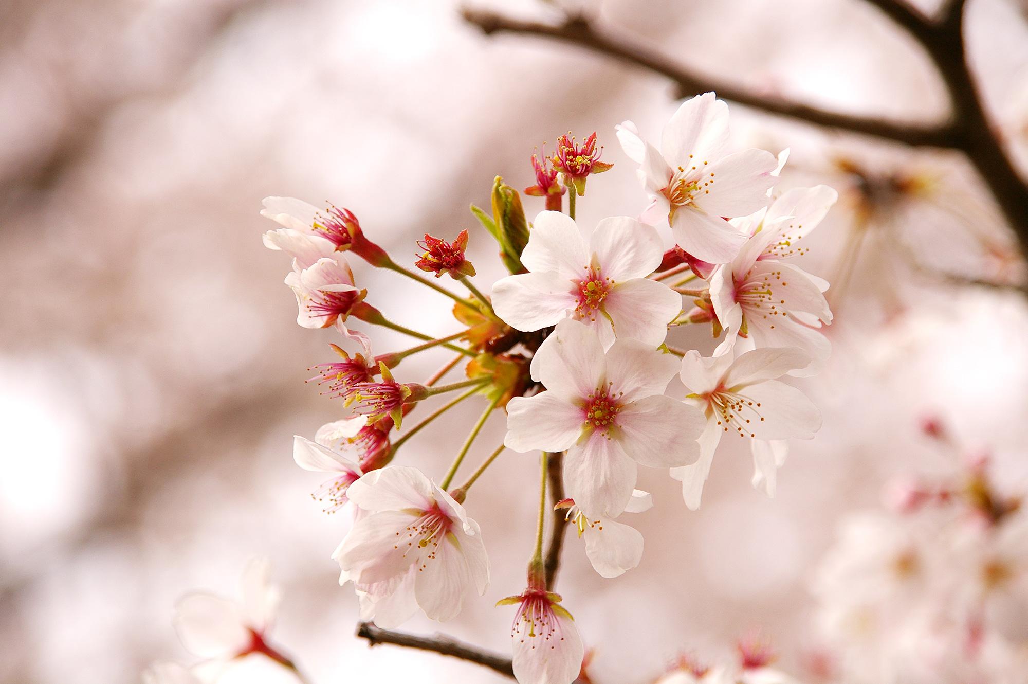 かわいいサクラの花
