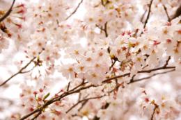 満開の桜の木の写真のフリー素材